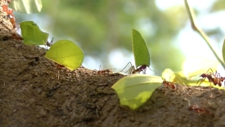 This Wildlife Expert Demonstrates The Power Of A Leafcutter Ant By Letting It Chomp On His Hand