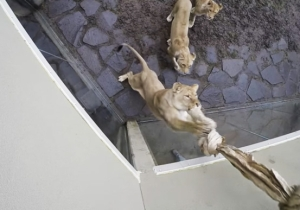 Nothing Is Cuter Than These Oregon Zoo Lions Playing With The World's Largest Cat Toy