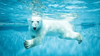 Researchers Are Using Glitter To Keep Track Of Polar Bear Poop