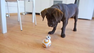 This Puppy Can't Wait To Adorably Maul BB-8