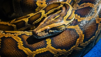 This Poor Guy Narrowly Avoided Losing His Manhood To A 12-Foot-Long Python Lurking In His Toilet