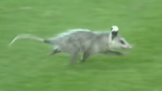 An Adorable Yet Terrifying Possum Interrupted An LSU-Arkansas College Baseball Game