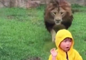 A Small Child Has Zoo Glass To Thank For Putting The Brakes On A Speeding Lion