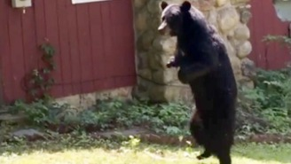 Don't Look Now, But There's A Bear Named 'Pedals' Walking Around New Jersey On Two Feet!