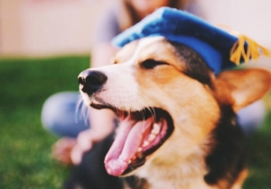 This Corgi Just Graduated From UCLA Without Crippling Debt