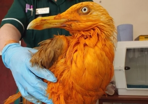 A Seagull Fell Into A Vat Of Chicken Tikka Masala And The Vet Couldn't Get Over How Great He Smelled
