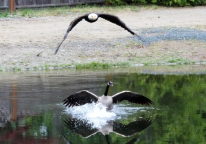 Try Not To Chant 'USA! USA!' While Watching This American Bald Eagle Whup A Canada Goose