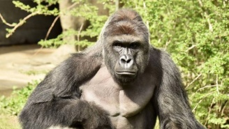 Police Open A Criminal Investigation Into Harambe The Gorilla's Death