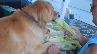 Feast Your Eyes On This Corn Shucking Golden Retriever