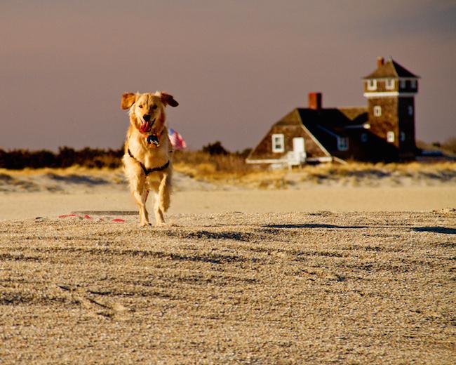 Golden Retriever running on beach