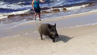 A Wild Boar Came Out Of The Baltic Sea To Reign Terror On Beachgoers