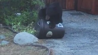 This Video Proves That Bears Are Evolving, Learning And Coming For Our Trash