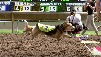 Here's A Video Of Corgis Racing In What Could Be The Greatest Sporting Event Of All-Time