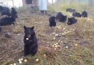 Let's Watch These 25 Bear Cubs Chow Down On Some Apples, Shall We?