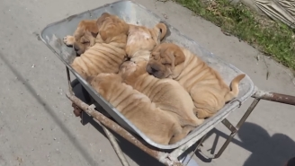 There May Be Nothing Cuter Than These Shar Pei Puppies In A Wheelbarrow Set To 'Ride Of The Valkyries'