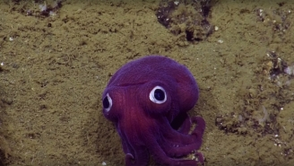 This Googly-Eyed Squid Is The Cutest Little Thing In The History Of Cutest Little Things