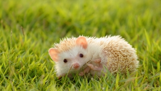 'Chief Hedgehog Officer' Is A Real Job Now, So Quit Yours Immediately And Apply