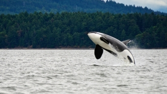 Check Out This 105-Year-Old Killer Whale Just Splashing Around Off The Coast Of Washington