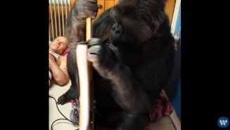 Koko The Gorilla Has A Ball Playing Flea's Bass Guitar