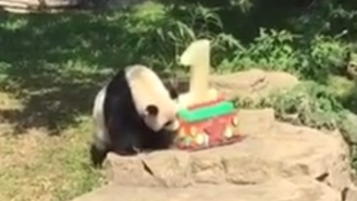 Drop Everything, A Panda Cub Is Eating Cake