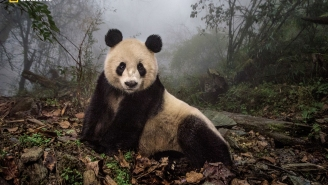 How Panda Urine Helped A National Geographic Photographer Score Magical Images Of China's Elusive Bear