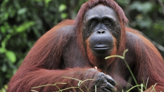 Fast Food And Face Wash Might Drive Orangutans To Extinction By 2026