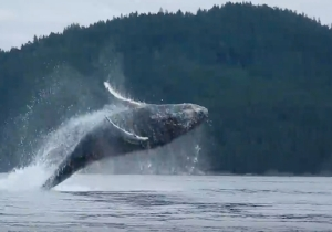 Hey, Check Out These Kayakers Losing Their Minds Over Majestic Jumping Whales