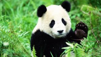 Conservation Efforts Succeed In Removing Giant Panda From Endangered List