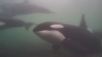 Watching These Orcas In The Wild On Webcam Will Make You Feel Things