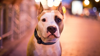 Montreal's Pit Bull Ban Is Wrong On Every Level