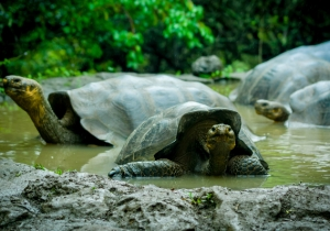 Meet The Tortoise Who Saved His Species By Having All The Sex