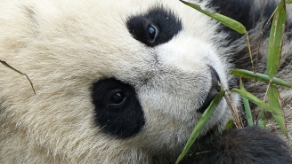 What The Giant Panda's Amazing Comeback Teaches Us About Conservation