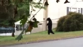 Internet Sensation Pedals, The Bi-Pedal Bear, Was Reportedly Killed By New Jersey Hunters
