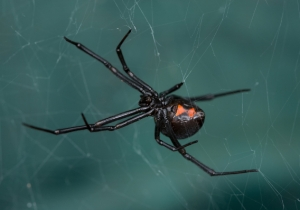 A Virus Is Stealing The Black Widow's DNA To Create Its Own Venom