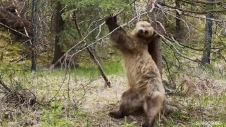 Bears Dancing To 'Jungle Boogie' Is What We All Need Right Now