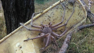 This Giant Huntsman Spider Lives On An Animal Rescue, And In Your Nightmares