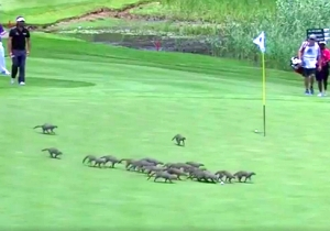 A Pack Of Polite Mongooses Invaded A PGA Event And Followed The Rules Of Golf Etiquette