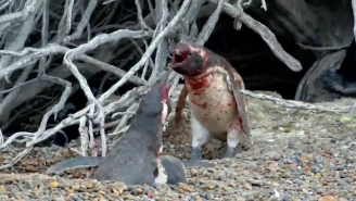 You Have To See This Video Of A Home-Wrecking Penguin And A Scorned Husband's Bloody Battle
