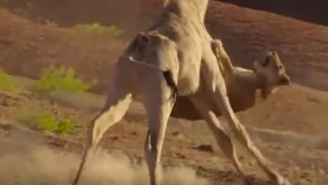 Watch A Giraffe Savagely Tap Dance All Over A Lion That Dared To Mess With Him