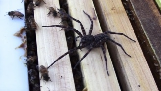 Watch This Enormous Fishing Spider Get Whooped When It Attacks A Hive Of Honey Bees