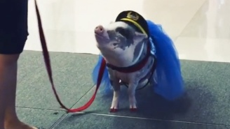 Travelers At The San Francisco Airport Will Now Be Greeted By A Pig Named LiLou