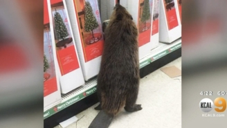A Real Grinch Of A Beaver Destroyed A Bunch Of Artificial Christmas Trees In A Maryland Store