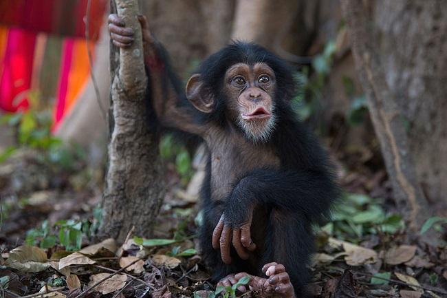 monkey-baby-chimpanzee_getty