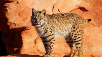 A Bobcat Named 'Ollie' Is On The Lam After Escaping From Washington D.C.'s National Zoo