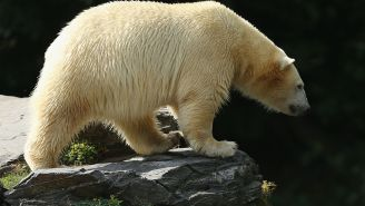 Feds: The Polar Bears Are Dying Off, And Climate Change Is The Killer