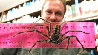 Australian Zookeepers Have Discovered What They Believe To Be The Biggest Huntsman Spider Ever