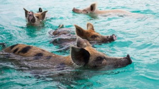 Several 'Pig Beach' Swimming Pigs Died Because Tourists Fed Them Junk Food And Alcohol
