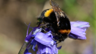 Bumblebees Are Dying Off Because They're Too Pudgy To Get It On