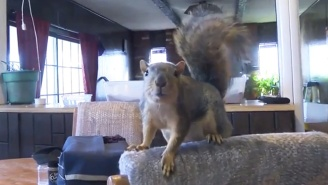 This Pet Squirrel Named 'Joey' Is Being Called A Hero After 'Going Nuts' On A Would-Be Burglar