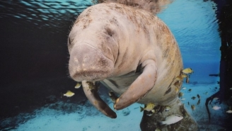 In A Rare Instance Of Good News, Manatees Are Officially No Longer Endangered